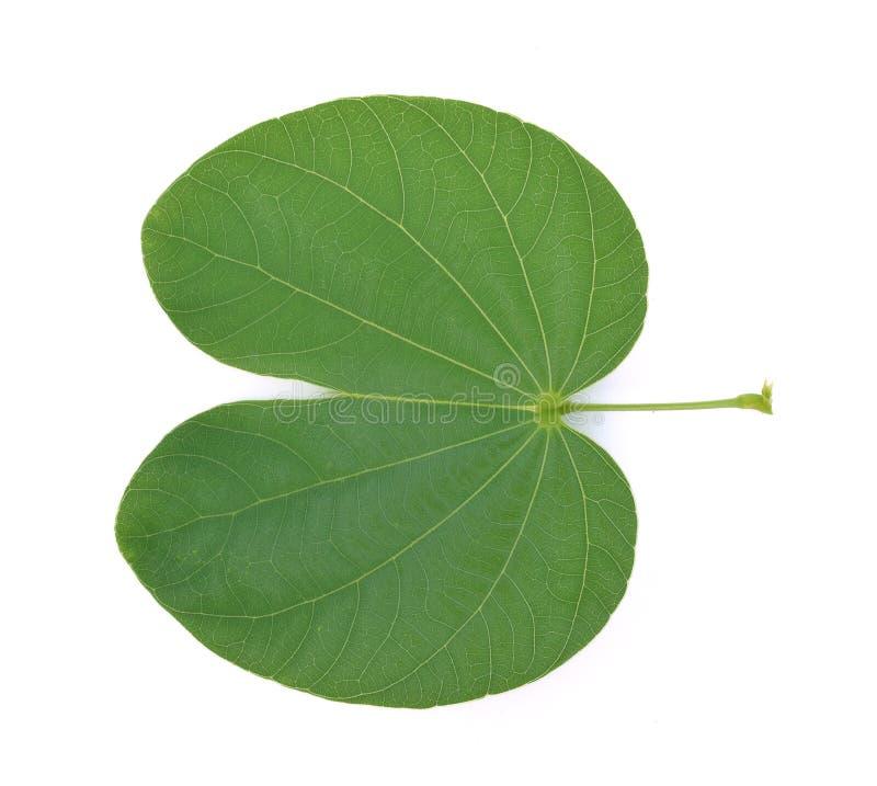 Bauhinia variegata leaf isolated on white background stock images