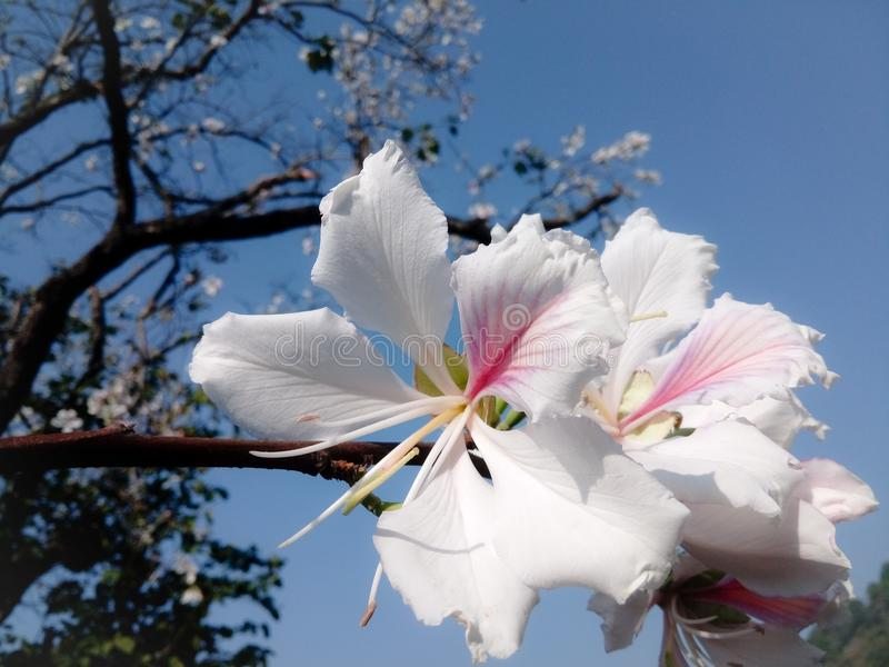 Bauhinia witte en roze bloem royalty-vrije stock foto's