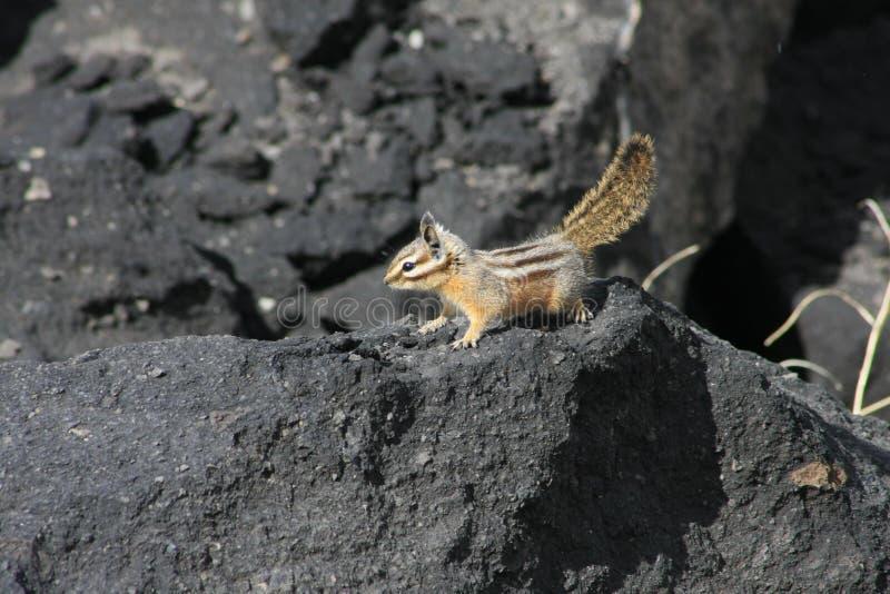 Bauholz-Tiger lizenzfreie stockfotografie