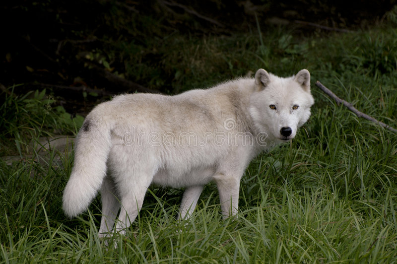 Bauholz-Wolf lizenzfreies stockbild