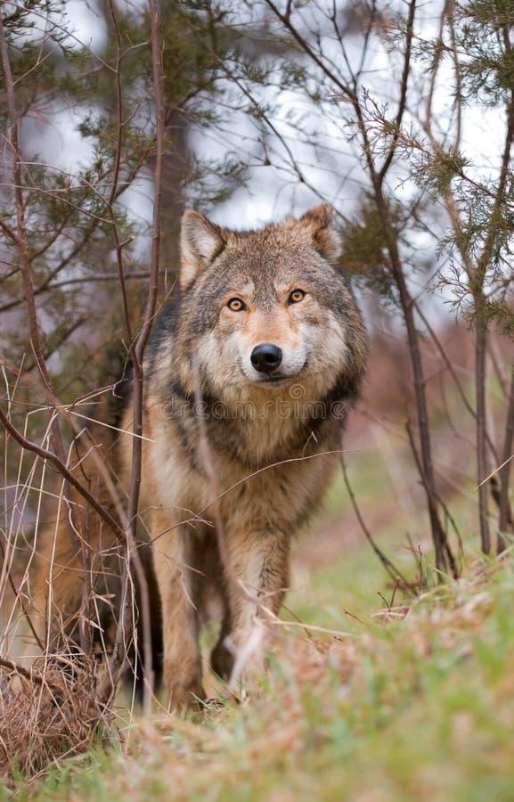 Bauholz-Wolf Im Pinsel Lizenzfreie Stockbilder