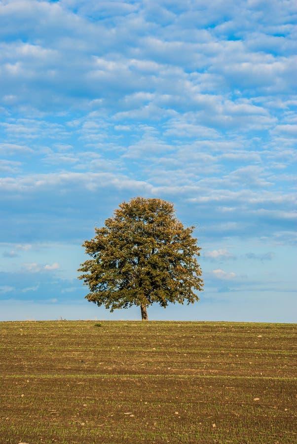 Baum allein auf dem Gebiet stockbilder