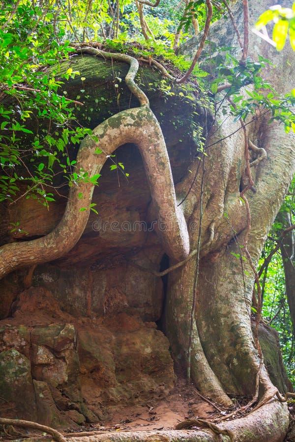 Baum in Angkor stockfotografie