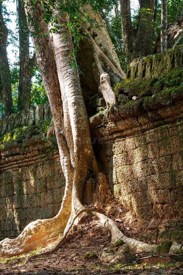 Baum in Angkor lizenzfreies stockfoto