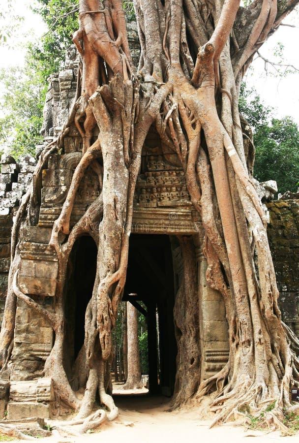 Baum in Angkor stockfotos
