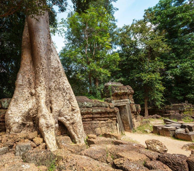 Baum in Angkor stockfoto