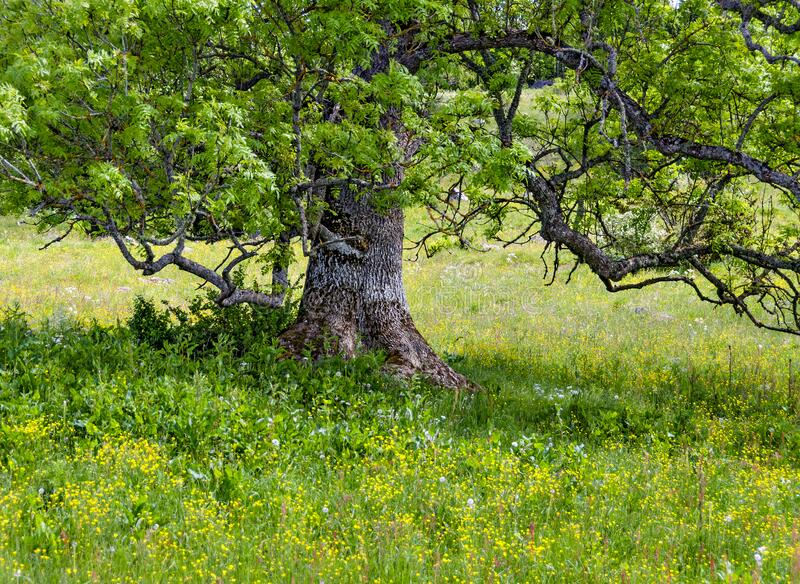 Old tree on a flourishing meadow. Old tree with lichens on a yellow flourishing meadow at Sweden stock photo
