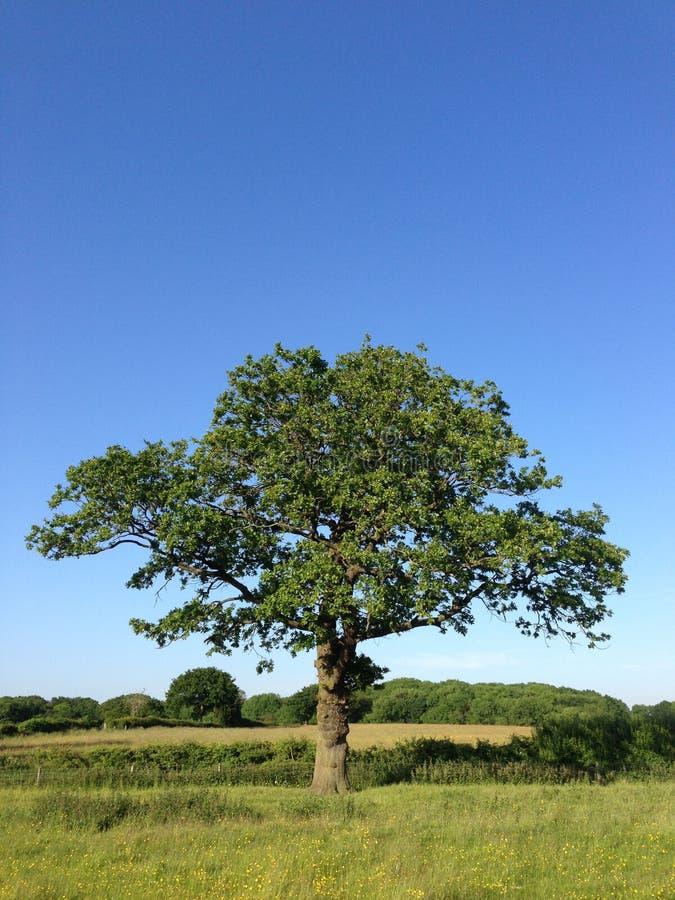 Baum auf dem Sommergebiet stockbild