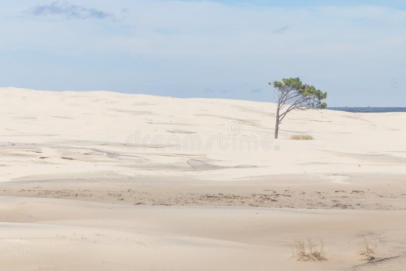 Baum auf den Dünen bei Lagoa tun Nationalpark Peixe lizenzfreie stockfotografie