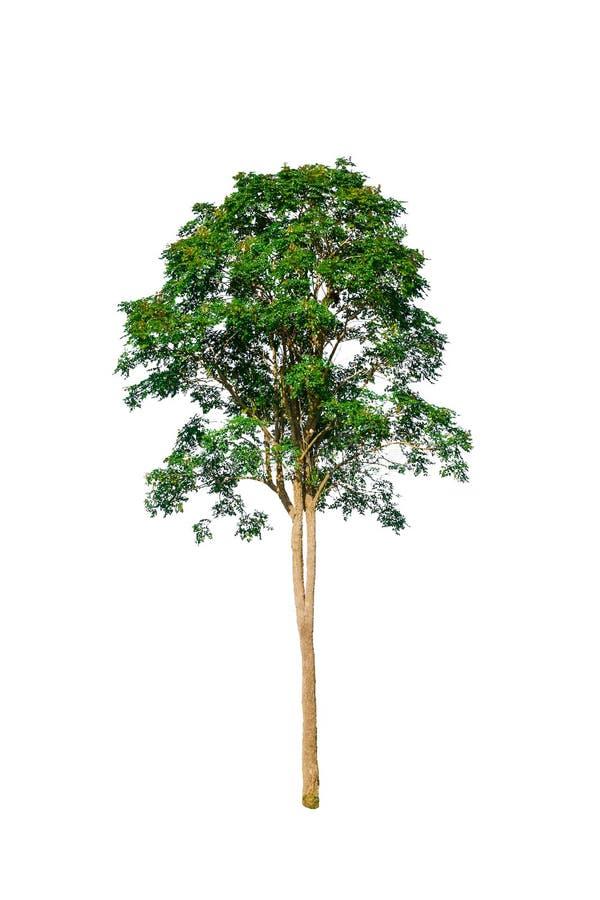 Baum auf einem Weiß lokalisierte den Hintergrund, der an der Werbung des Designs oder der Dekoration angewendet wurde stockbild