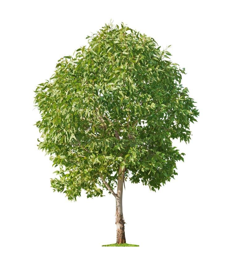 Baum auf weißem Hintergrund stockfotografie