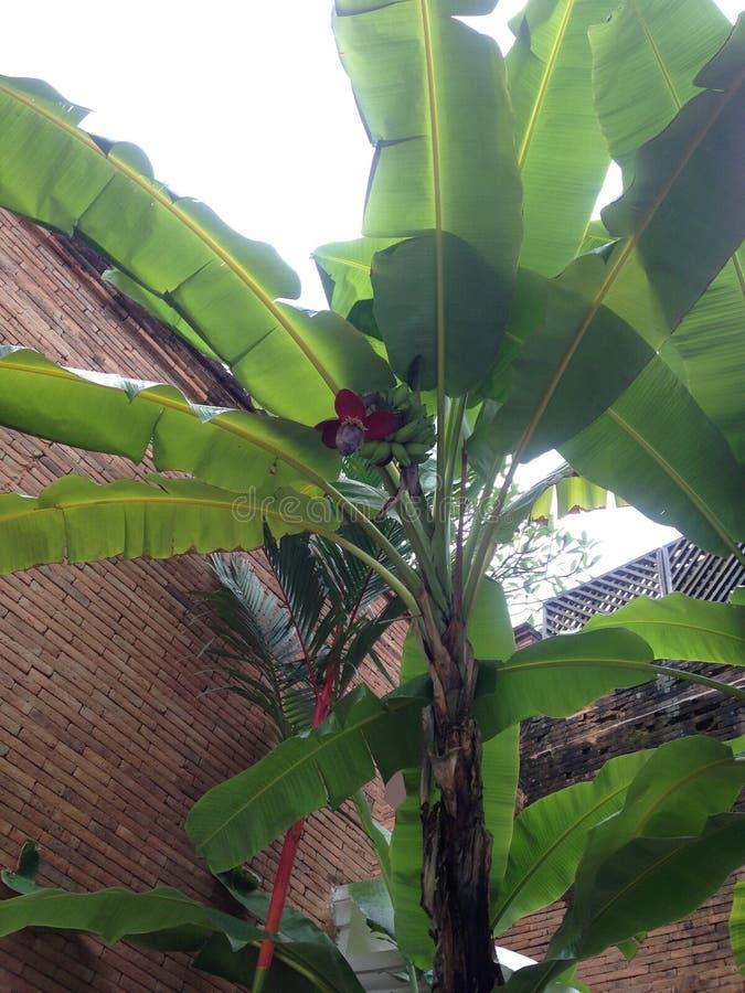 Baum-Banane stockbilder