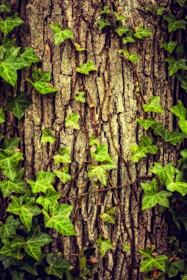 Baum bedeckt mit Efeu lizenzfreies stockbild