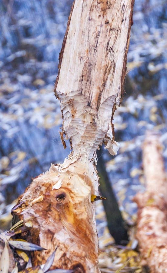 Baum beschädigt durch einen Biber stockfotos