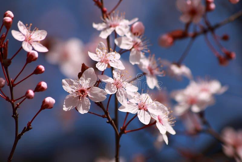 Baum blüht im Frühjahr stockbild