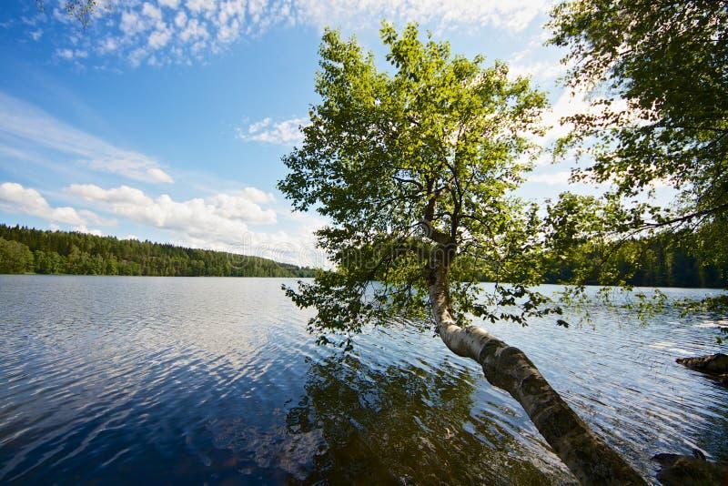 Baum, der über See wächst lizenzfreies stockbild