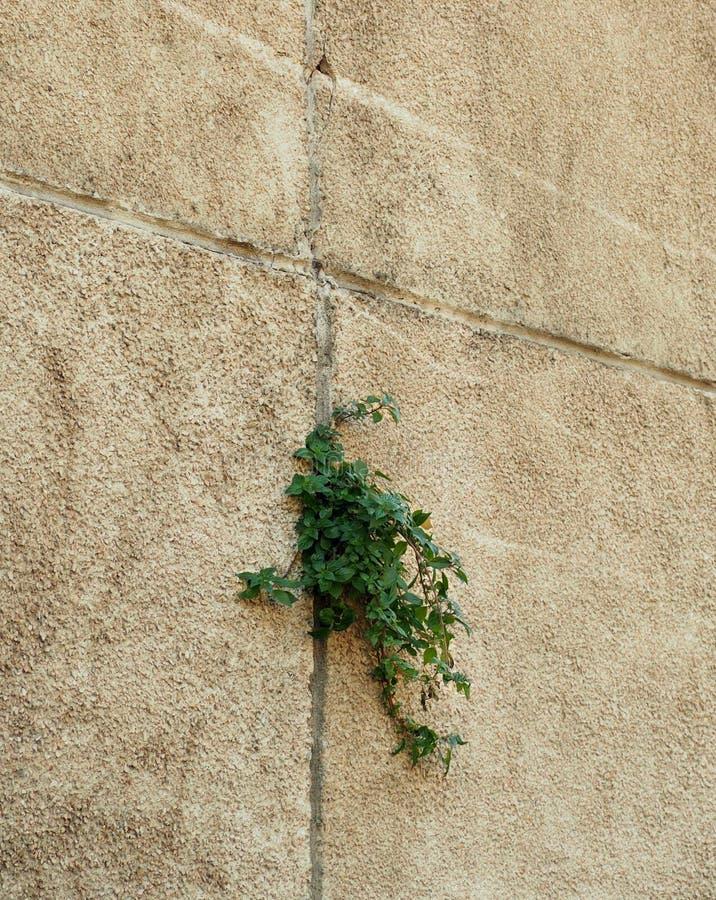 Baum, der durch gebrochene Wand wächst Klein Baum-während des Wachstums auf Zementwand Alter Gips ummauert gebrochenen Sprung unk stockbilder