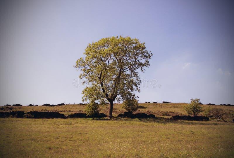Baum in der englischen Landschaft stockfoto
