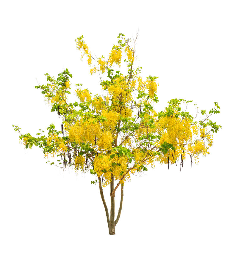 Baum der goldenen Dusche (Kassiefistel) stockfotos