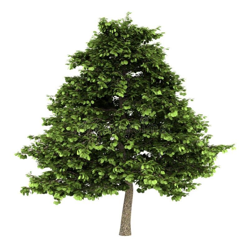 Baum der grauen Erle getrennt auf Weiß stock abbildung