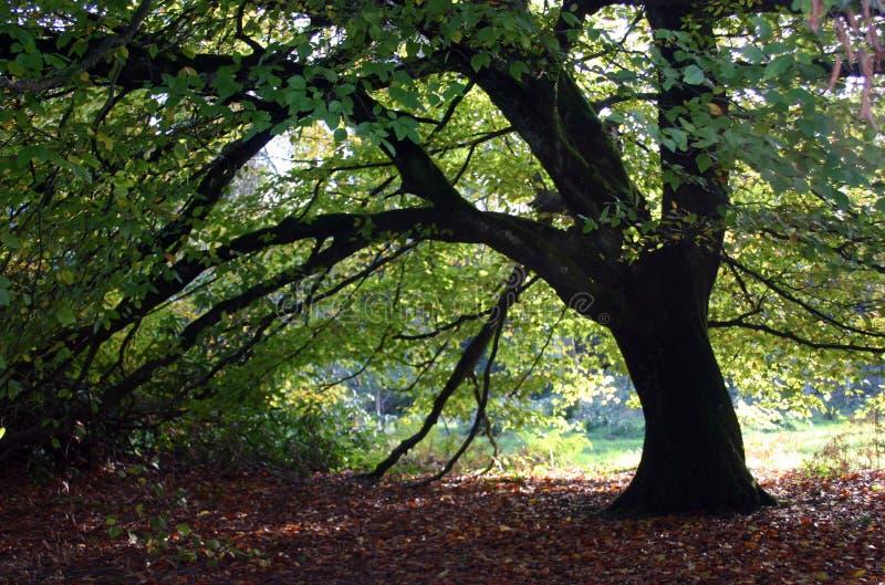 Baum, der heraus in Herbst sich ausbreitet stockfotografie