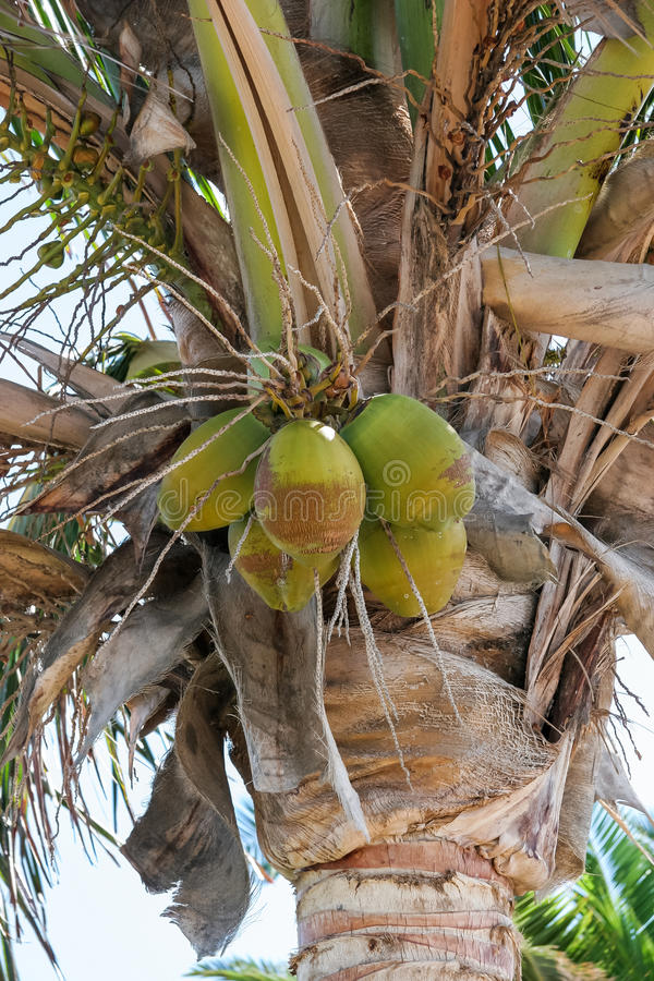 baum der kokosnuss palme cocos nucifera in kanarischen. Black Bedroom Furniture Sets. Home Design Ideas