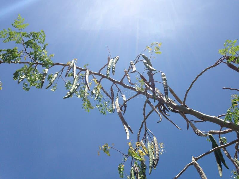 Baum der Moringa.oleifera-(Trommelstock) mit dem Hängen von Seedpods, das im hellen Sonnenlicht wächst stockbilder