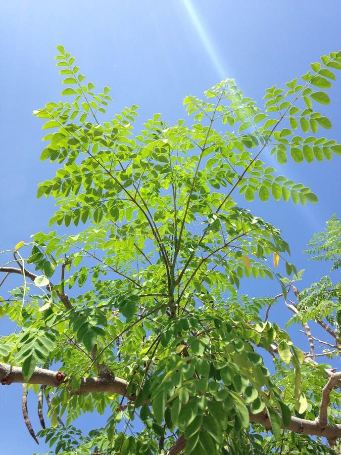 Baum der Moringa.oleifera-(Trommelstock) mit dem Hängen von Seedpods, das im hellen Sonnenlicht wächst lizenzfreie stockfotos