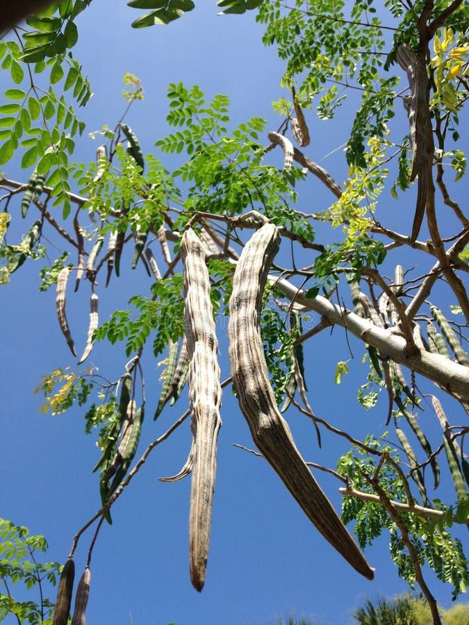 Baum der Moringa.oleifera-(Trommelstock) mit dem Hängen von Seedpods, das im hellen Sonnenlicht wächst lizenzfreie stockbilder
