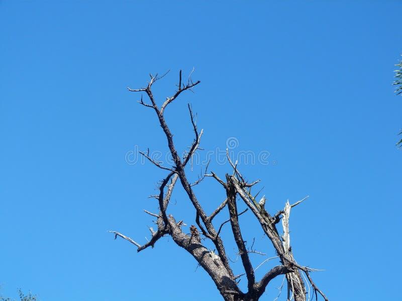 Baum, der nach hurricaine Maria-Front eines blauen Himmels starb stockbilder
