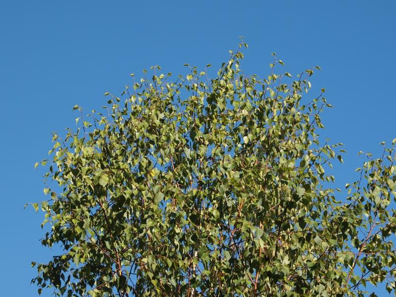 Baum der Pappel (Populus) über blauem Himmel stockbilder