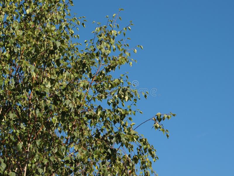 Baum der Pappel (Populus) über blauem Himmel lizenzfreie stockbilder