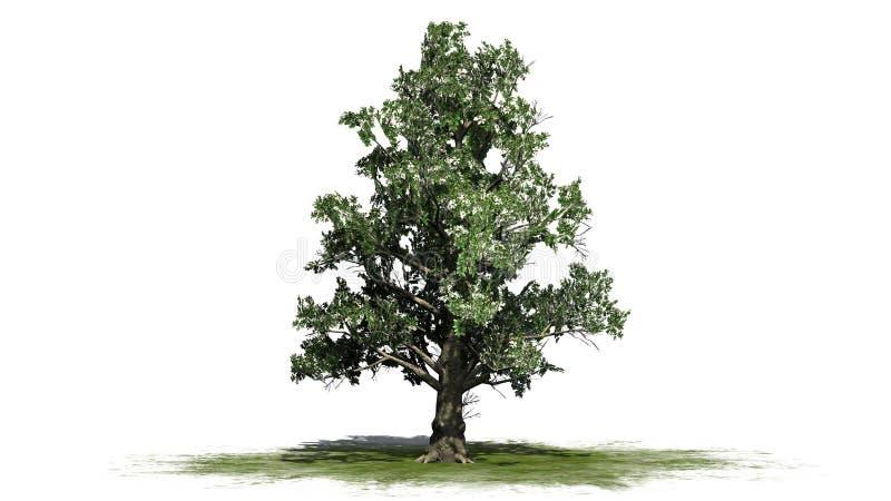 Baum der südlichen Magnolie mit Blüten vektor abbildung