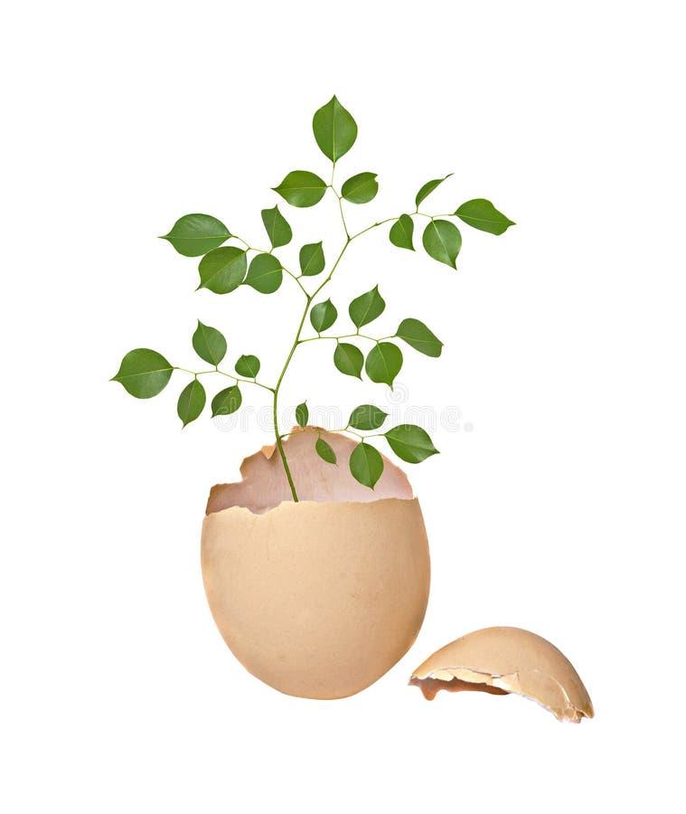 Baum, der vom Ei wächst lizenzfreies stockbild