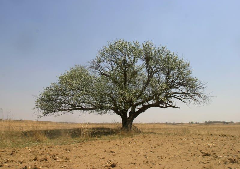 Baum in der Wüste stockbilder