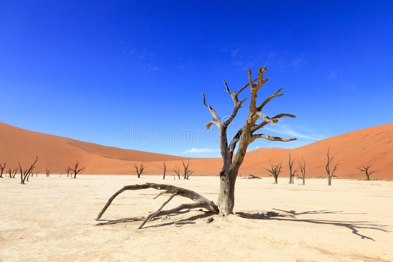Baum in der Wüste bei Sossusvlei Namibia lizenzfreie stockfotos