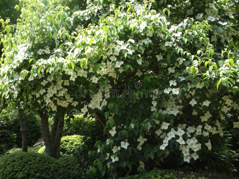 Baum der weißen Blume stockfoto