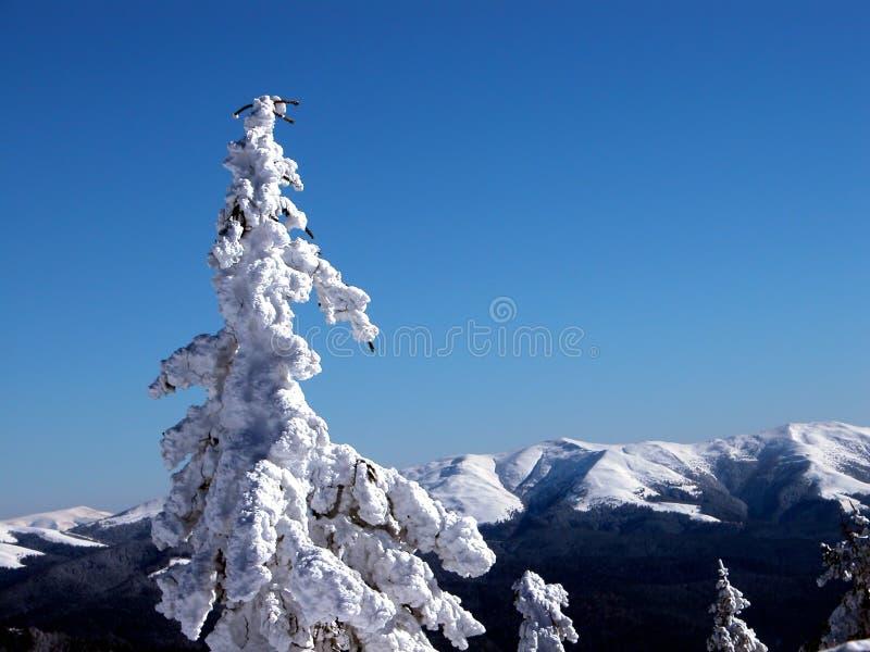 Baum der weißen Tanne lizenzfreies stockfoto