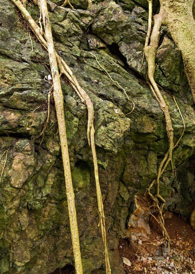 Baum des botanischen Gartens wurzelt grünen Wald lizenzfreie stockfotos