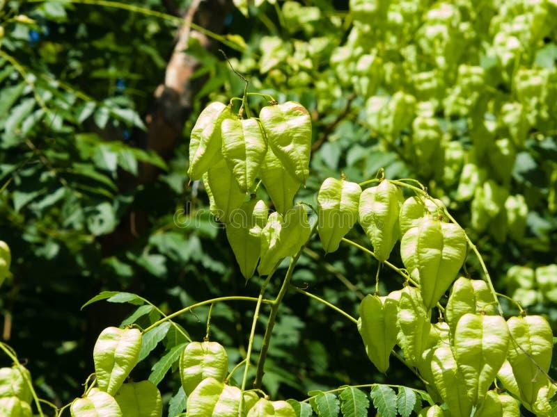 Baum des goldenen Regens, Koelreuteria-paniculata, unausgereifte Samenhülsennahaufnahme, selektiver Fokus, flacher DOF lizenzfreie stockbilder