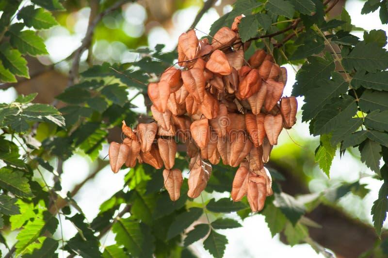 Baum des goldenen Regens sät Hülsen im Baum - Koelreuteria Paniculata lizenzfreies stockfoto