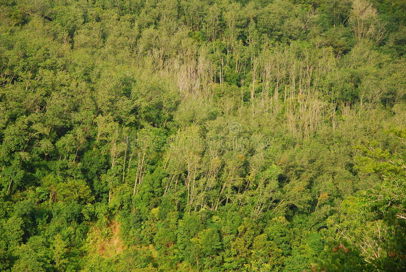 Baum des Waldes und Natur Hatyai Thailand stockbild