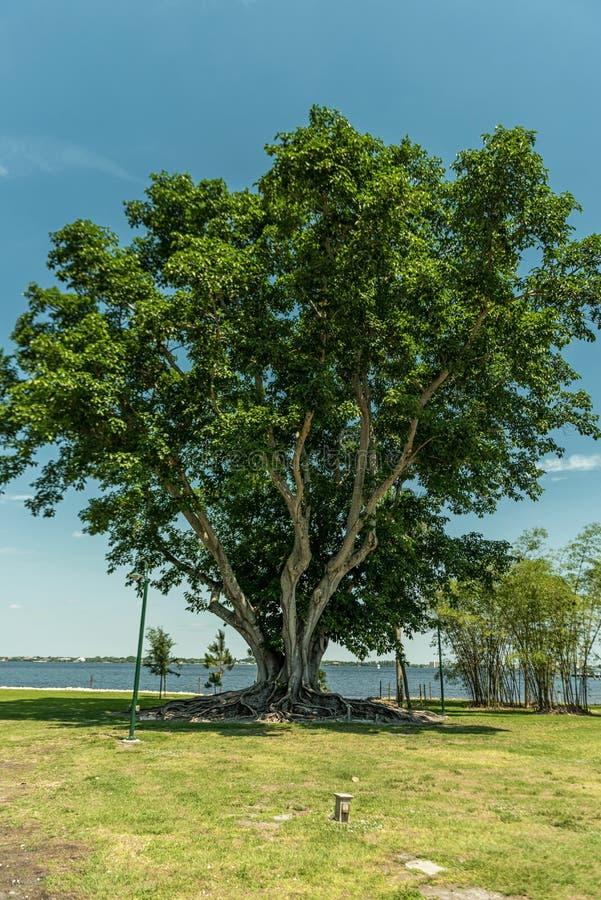 Baum in Edison und in Ford Winter Estates Park in Fort Myers, Florida stockfotografie