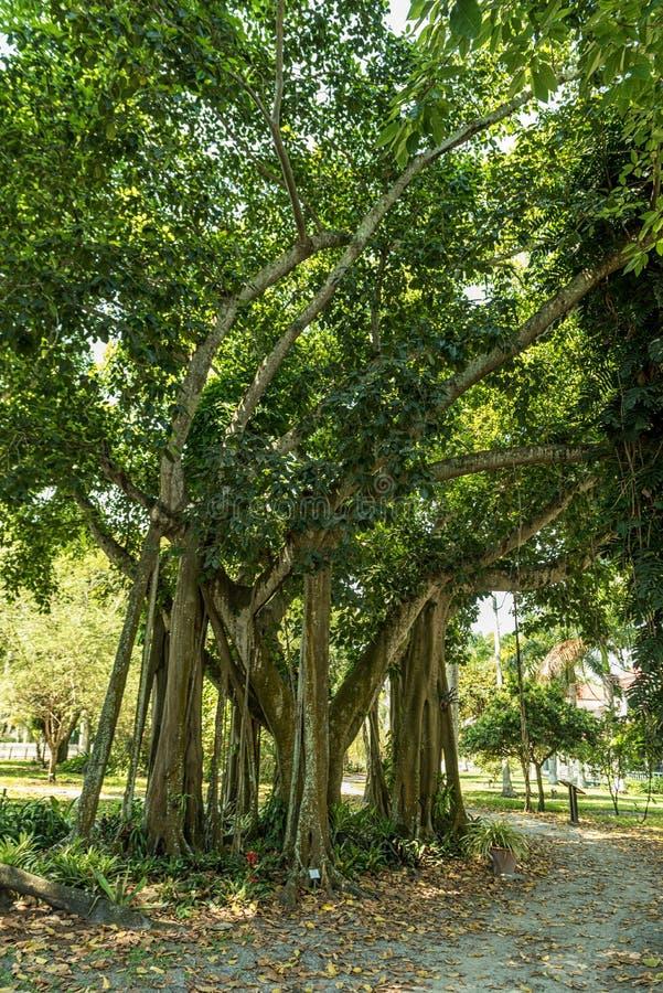Baum in Edison und in Ford Winter Estates Park in Fort Myers, Florida lizenzfreie stockfotografie