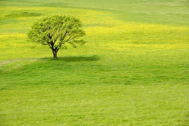 Baum in einer Frühlingsblütenwiese lizenzfreie stockbilder