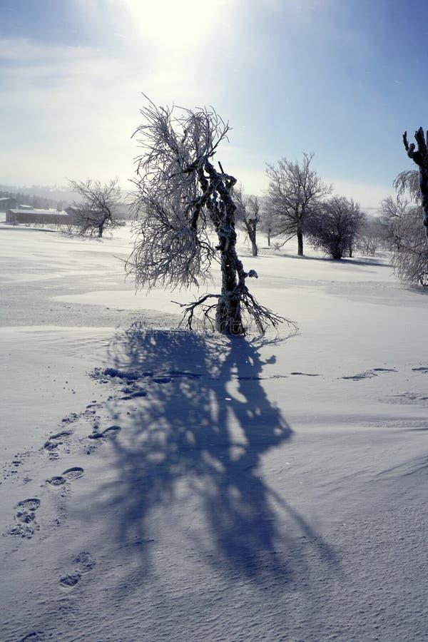 Baum einer seltsamen Form vor dem hintergrund des Schnees und des wolkenlosen Himmels stockfotografie