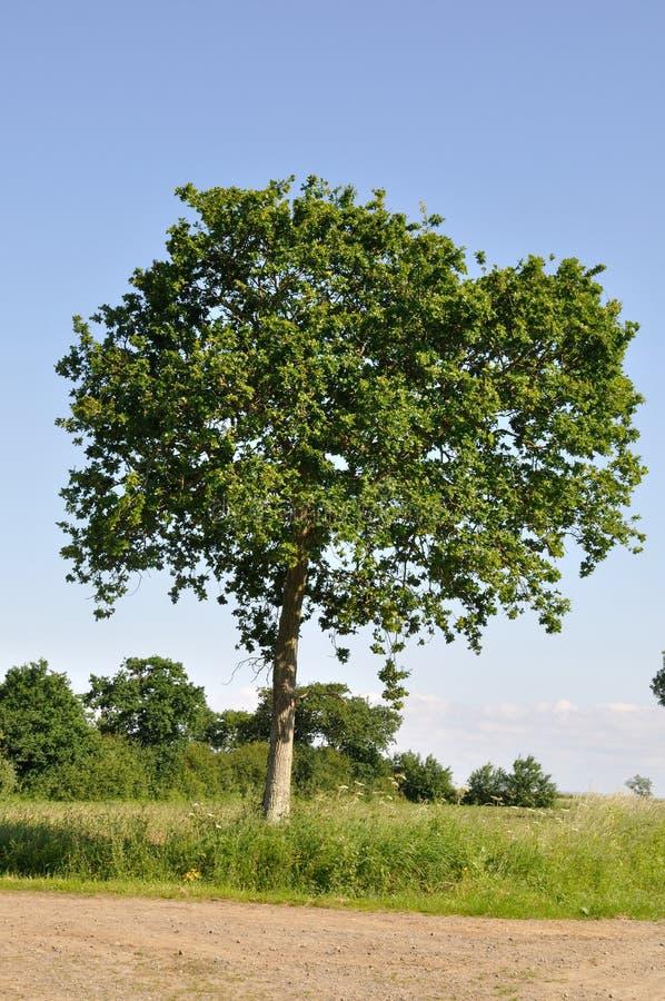 Baum am Fr?hling stockbild