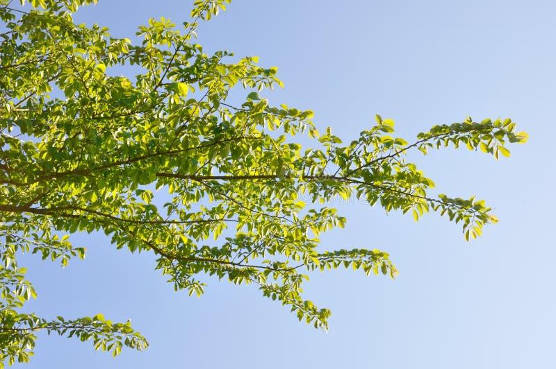 Baum am Fr?hling stockfoto