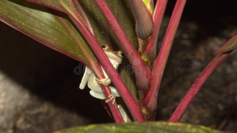 Baum-Frosch-Abschluss oben in wildem stockfotografie