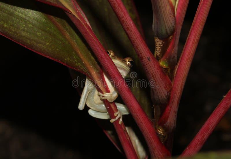 Baum-Frosch-Abschluss oben in wildem stockbilder